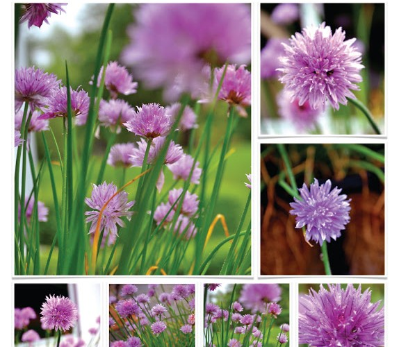 Are Chive Flowers Edible?